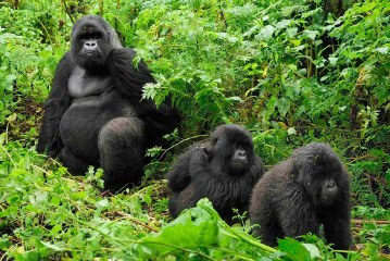 Gorilla Trekking Safaris and Tours in Rwanda