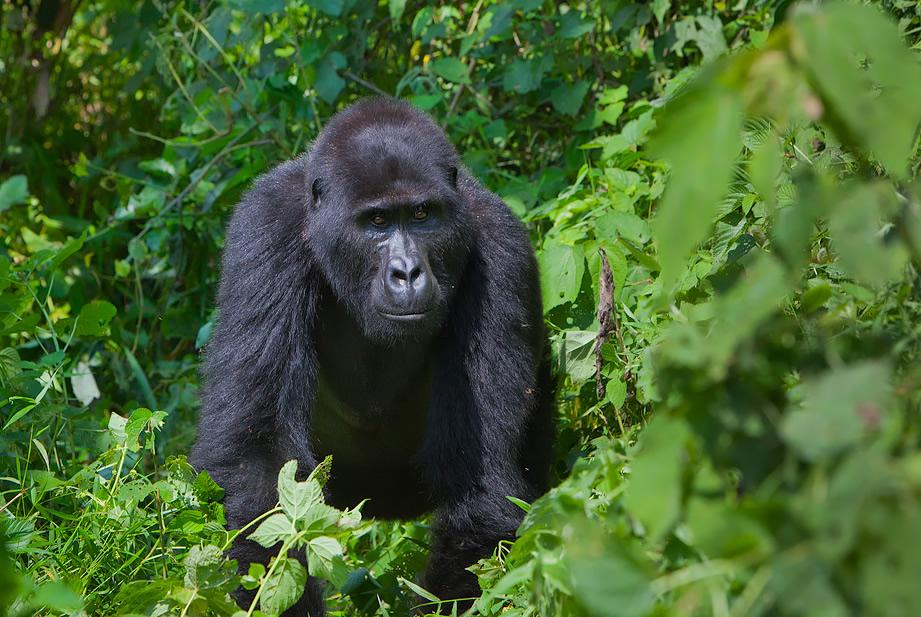 Gorilla Trekking Adventure Tours in Rwanda