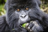 Affordable Gorilla Trekking Permits in Uganda and Congo