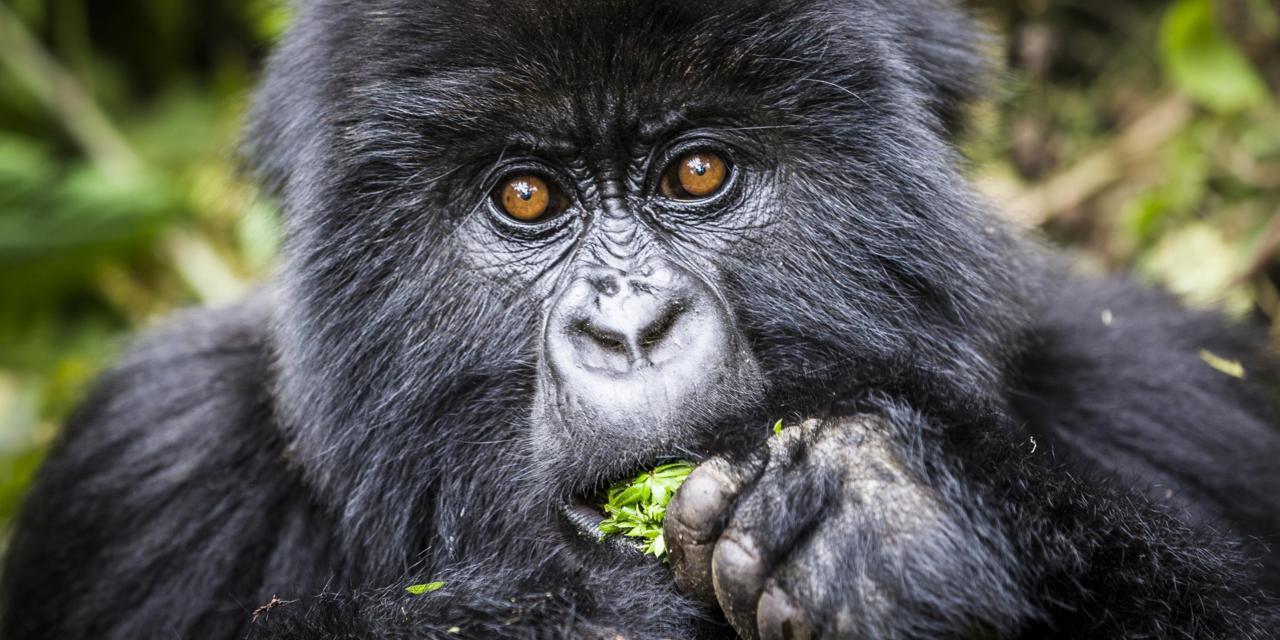 Affordable Gorilla Trekking Permits in Uganda and Congo