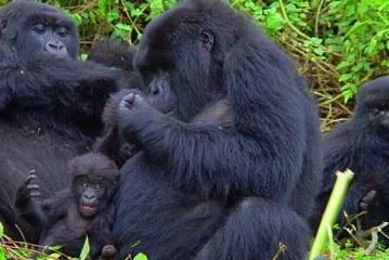 Gorilla Trekking Holidays in Uganda