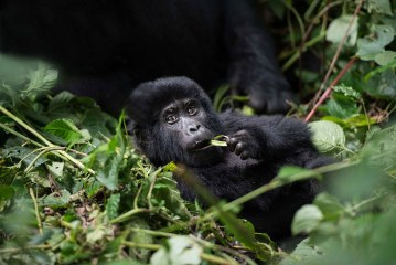 Gorilla Trekking Safaris in Rwanda & Congo