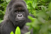 Rwanda Safari and Congo Gorilla Adventure