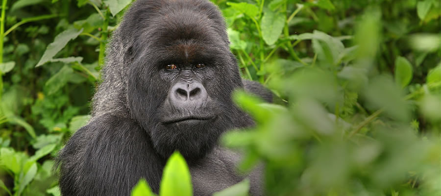 Mgahinga Gorilla Photo Safaris Uganda