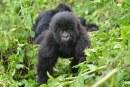 Rwanda Gorilla Permit Increase 2018