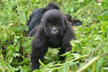 Honeymoon Gorilla Trekking Safaris in Rwanda