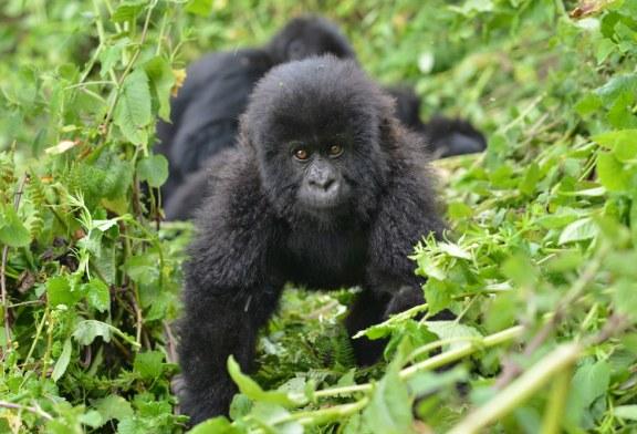 Rwanda Gorilla and Tanzania Safari