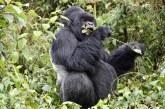 Rwanda Gorilla Trek and CHOGM in Kigali 2021