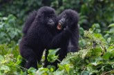 Encounter Gorilla Wildlife Safari Rwanda