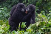 Reasons Why Tourists Prefer Rwanda For Gorilla Trekking