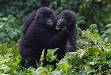 Encounter Gorilla Wildlife Safari Rwanda